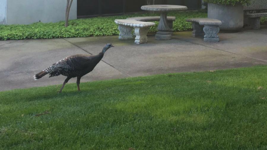 A+turkey+roams+around+campus.+%28Photo+by+Rin+Carbin%29