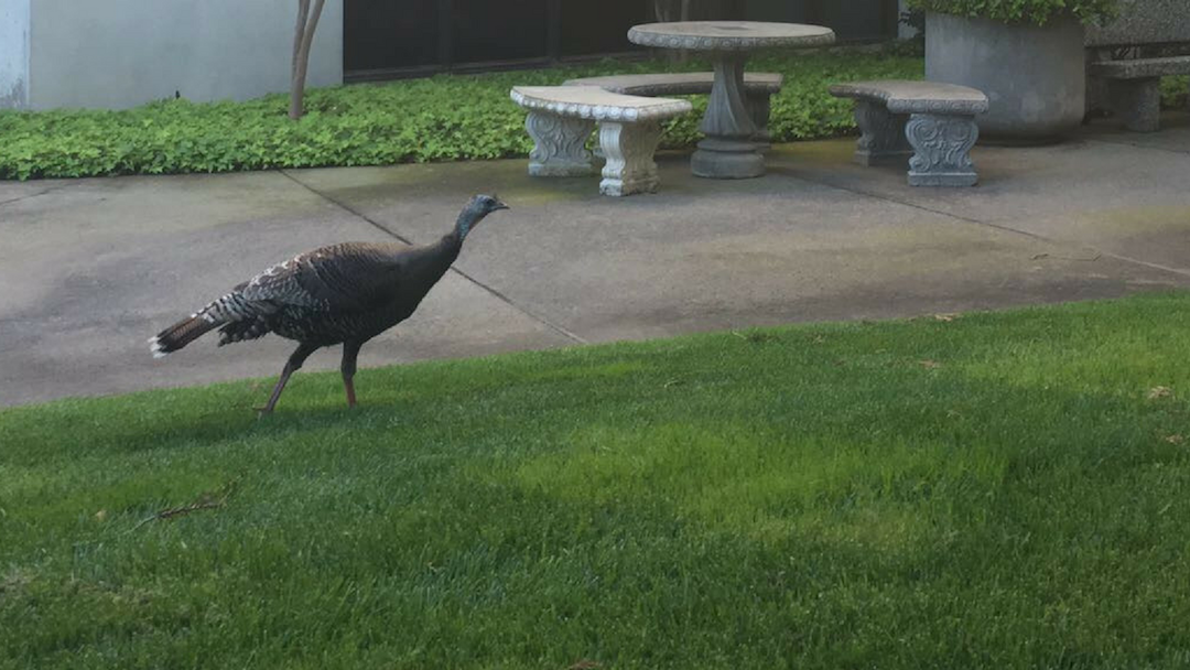 A turkey roams around campus. (Photo by Rin Carbin)