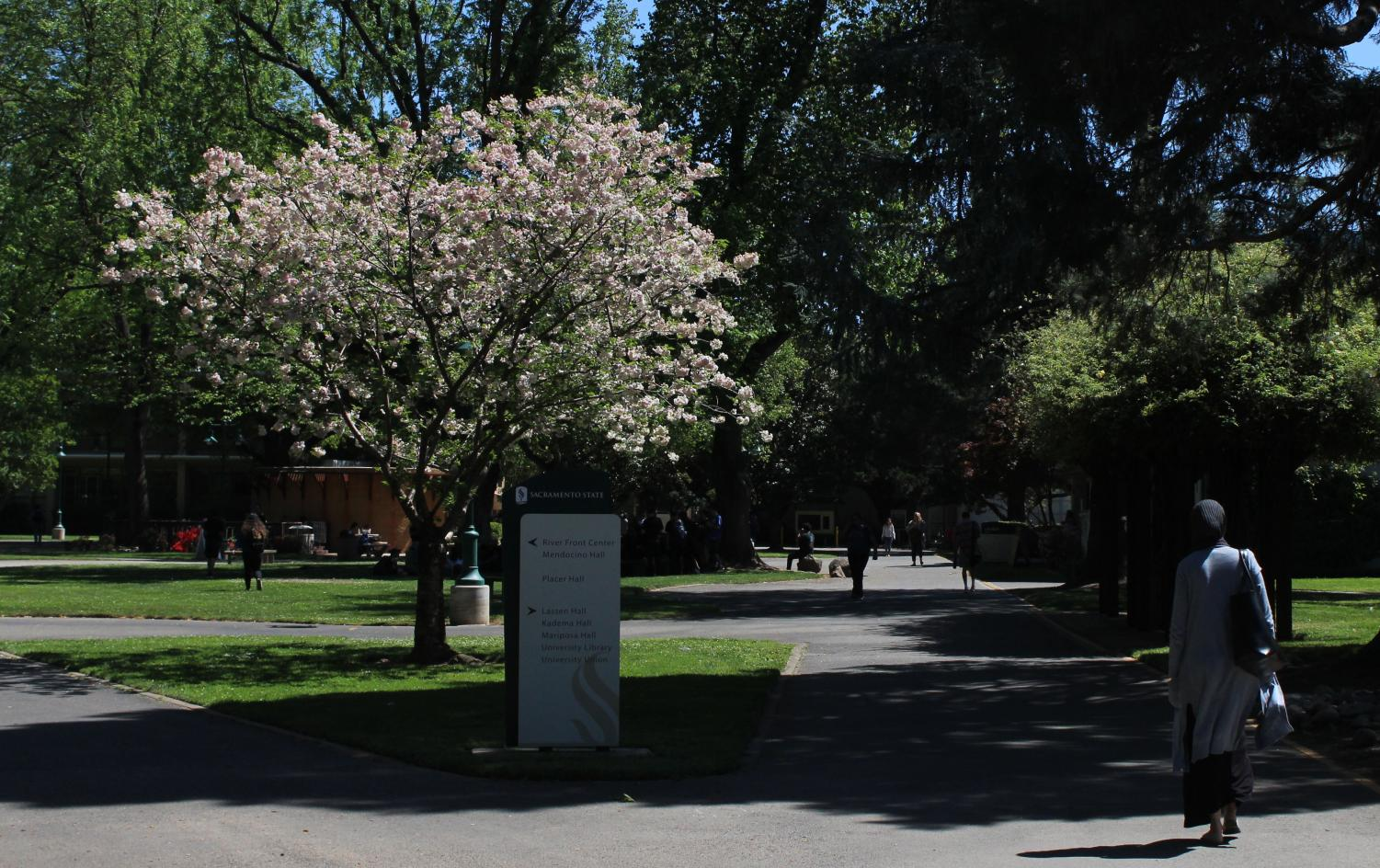 A Callery Pear on campus at Sac State. These white blooms are a notorious source of allergies all over the city of Sacramento.